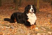 Amazing Bernese Mountain Dog Lying In Autumn Forest