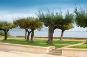 picture of tamarind  - Tamarind trees by the coast in northern Mallorca - JPG
