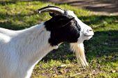 She goat