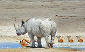 Black Rhino & Springbok in Etosha