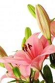 Pink Lily Blossom