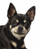 Close-up of a Chihuahua (18 months old)