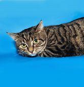 Tabby Cat Lying On Blue