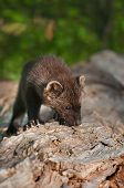 Young Fisher (martes Pennanti) Sniffs At Log