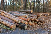 Wooden logs in pine forest