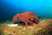 picture of biodiversity  - Big Red Octopus on coral reef - JPG