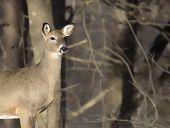 stock photo of deer head  - Head and shoulders - JPG