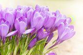 Close up of delicate springtime crocus flowers.