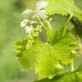 Grapevine Flower Transformation Into A Grape Berry