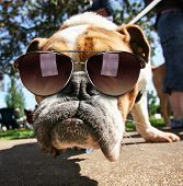 a cute bulldog with sunglasses on in a park