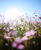 a bunch of pretty pink wild flowers shot with a wide angle lens right into the sun (very shallow DOF)
