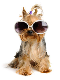 picture of funny animals  - yorkie in the sunglass on the white background - JPG
