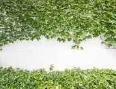 picture of ivy vine  - ivy leaves isolated on a white background - JPG