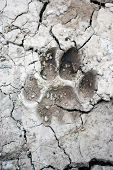 foto of mountain lion  - mountain lion tracks in mud on hiking trail - JPG