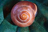 picture of conch  - Conch snail on a leaf in garden - JPG