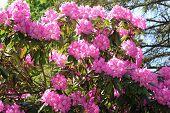 stock photo of azalea  - A large pink azalea shrub in full bloom - JPG