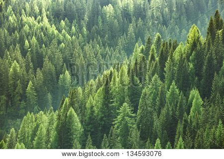 poster of Healthy green trees in a forest of old spruce fir and pine trees in wilderness of a national park. Sustainable industry ecosystem and healthy environment concepts and background.