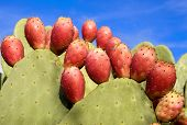 stock photo of nopal  - juicey red prickly pear s cactus on green cacti - JPG