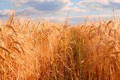 Evening corn field - summer landscape