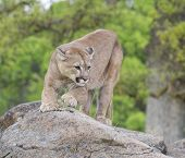 foto of mountain lion  - Mountain Lion on rocks during spring time - JPG