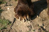 Kodiak Claw