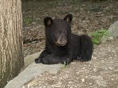 Adorable Black Bear Cub