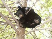 Black Bear Sleeping Up A Tree