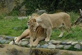 picture of african lion  - african lions at the san francisco zoo - JPG