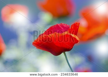 Red Poppy On Green Weeds