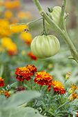 Tomates y caléndulas (compañero plantar)