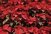 Holiday Poinsettia Flowers