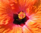 Orange Hibiscus Macro
