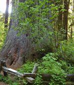 Biggest Tree