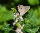 Mexican Gray Hairstreak Butterfly