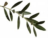 image of olive branch  - olive branch with green leaves isolated over white - JPG