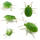Green shield bugs, Palomena prasina, in front of white background