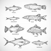 Hand Drawn Ocean Or Sea And River Fish Set. A Collection Of Salmon And Tuna Or Pike And Anchovy, Her poster