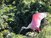 Roseate Spoonbill Makes A Soft Landing