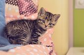 Tabby Kitten - Little Cat Lying On Pink Pillow In Flat. Cute Baby Tabby Kitten Looking On Camera. Sm poster