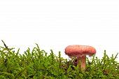 Woolly milkcap mushroom