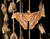 Cobra Moth