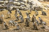 African Penguins Colony poster