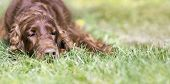 Portrait Of A Cute Lazy Irish Setter Dog As Resting In The Grass - Web Banner With Copy Space poster