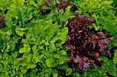 Fresh Lettuce Leaves. Red Leaf Lettuce Or Red Coral And Green Lettuce In Vegetable Farm Garden. Red  poster