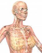 Female Muscular Anatomy Semi Transparent Close Up View