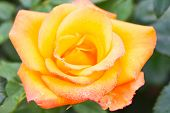 Close-up of orange rose with water droplets