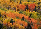 Multicolored Aspens