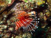 Dangerous tropical fish, scorpionfish, Vietnam
