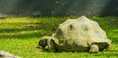Aldabra Giant Tortoise, Largest Land Turtle Specie In The World, Tropical Turtle Specie From Madagas poster