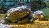 Portrait Of A Aldabra Giant Tortoise, Land Dwelling Turtle, Worlds Largest Specie, Vulnerable Animal poster